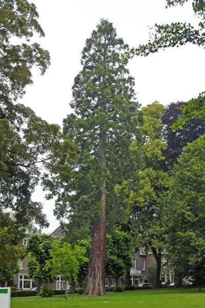 NS wandeling Gerendal van Schin op Geul naar Valkenburg  mammoetboom sequoiadendron gigianteum