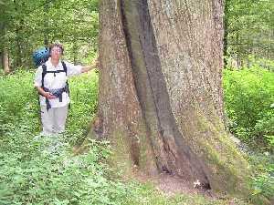 tijdens de Europäischer Fernwanderweg E8, dikke eikenboom (5½ meter omtrek) met Coos