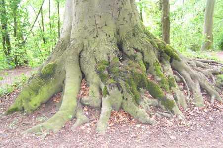 Met de Ronde van Zuid-Limburg 2006; boomwortels nabij de Drie beeldjes